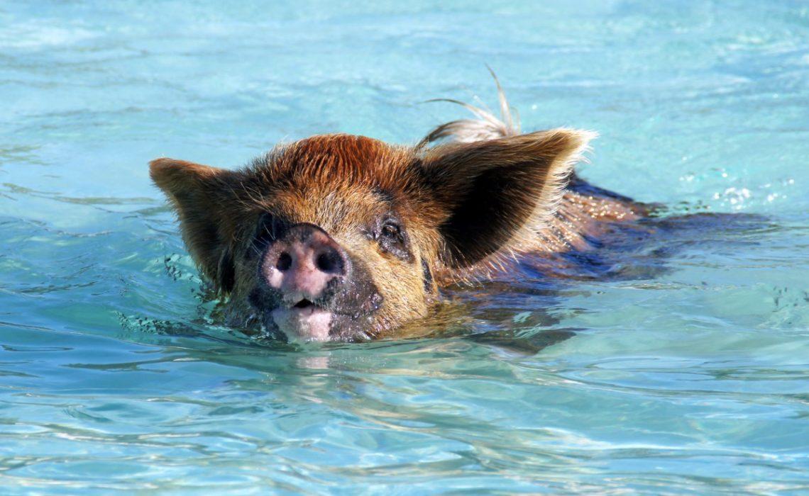 Bahamas – Traumstrand und schwimmende Schweine